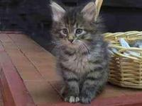 2 stunning full blood maine coon kittens left one Blk