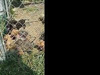 I have beautiful pit bull puppies ready for their