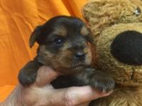 Beautiful fullblooded male Yorkie puppy!! Ckc