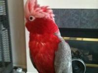 Beautiful adult female Galah Cockatoo needs her perfect