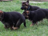 I have been in German Shepherds for 20 years or so...I