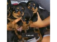 Beautiful German Rottweiler puppies for adoption.AKC