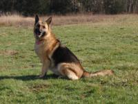 We are offering our female German Shepherd Dog called