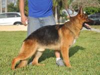 This is Indio. He is a gorgeous German Shepherd import