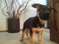 German Shepherd Male Pup Born 11.22.14 This gorgeous