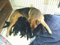 I have 6 beautiful german shepherd for sale,males go