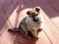 I have three gorgeous shepherd females available.