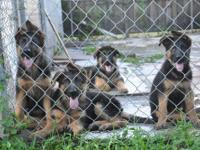 We have 6 beautiful German shepherd puppies. They are 4