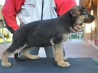 These are 5 attractive AKC German Guard Puppies. They
