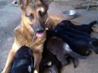 BEAUTIFUL GERMAN SHEPHERD PUPPIES HEALTHY FOR SALE 100%