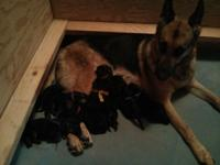 2 Male & 6 Female German Shepherd puppies are super