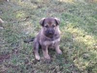 We have 2 male German Shepherd puppies. They are 1/2