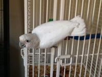 Beautiful Goffin Cockatoo satisfy Cuddles sweet tame