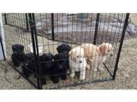 We have a litter of Golden Doodle puppies.They are