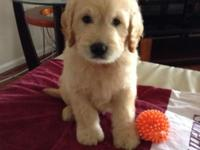 We have 6 Beautiful Goldendoodle Puppies For Sale 4Male