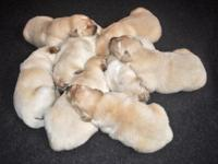 Golden Pyrenees born October 10th 2015. 4 Males / 4