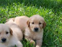 BEAUTIFUL, CKC, GOLDEN RETRIEVER PUPPIES, 8 WEEKS OLD.