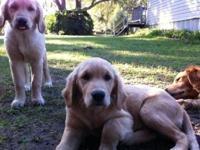 Golden Retriever young puppies born upon July 1. 2