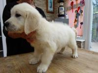 Golden retriever puppies for sale. These gorgeous
