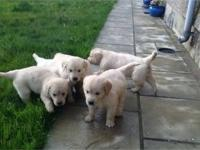 Beautiful Golden Retriever puppies. Pedigree,