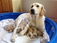 We have beautiful Golden Retriever X Labrador Retriever