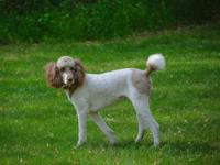 I have 1 handsome male goldendoodle left to sell. He is