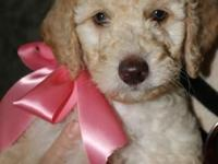 We are expecting our multigen Goldendoodle puppies to