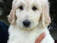 Yellow Boy is a beautiful 8 1/2 week old Goldendoodle.