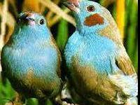 The Grasskeets from the Australian grasslands are