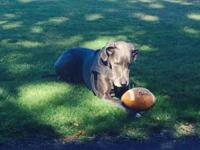 This is Magnus a beautiful pure blood blue Great Dane.