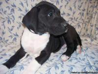 Gorgeous, Massive Great Dane Puppies I currently have 1