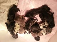 We have a beautiful litter of 10 CKC Great Dane puppies
