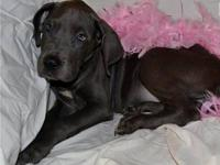 We have two beautiful Great Dane puppies available for