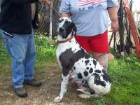 We have beautiful Great Dane puppies. Will be ready the