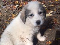 I have only one Great Pyrenees puppy left for sale I