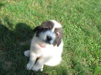 We have 3 Female Great Pyrenees Puppies. They are mixed