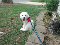 Gorgeous Purebred great Pyrenees puppy 12 weeks old