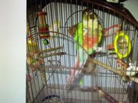 Pico is a green cheek conure parrot he has certificate