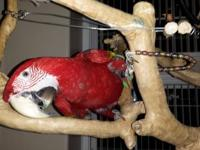 I have 2 beautiful Greenwing macaws that are looking