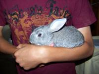 Beautiful 6 week old New Zealand x American Chinchilla