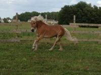 13 year old registered AHR haflinger mare. Broke to