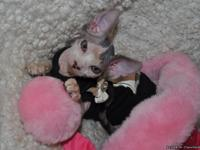 Beautiful sphynx kitty- 12 week old female. Very sweet