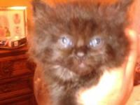 Four KITTENS left BORN AUGUST 3rd! TOO CUTE TO BE SOLD!
