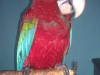"Meet ""Taz""! Taz is a beautiful 6month old greenwing."