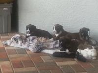 Boxer puppies AKC registered, born 9/11/14 ( 7 weeks