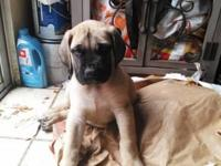 We have three energetic, full bred, Mastiff puppies.