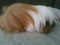 We have beautiful guinea pigs, we are ACBA & ARBA