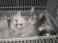 2 Beautiful high quality kittens born 04/08/12. Looks