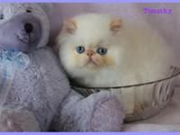 FLAME POINT HIMALAYAN BABY BOY! VISIT OUR WEBSITE!!