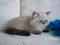 I have 3 Beautiful Blue Cream Lynx point Himalayan
